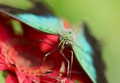 Yesterday (Anna Kwa) Tags: nature butterfly singapore sentosaisland macroart papilioulysses butterflykingdom bluemountainbutterfly bluemountainswallowtail