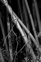 (tomthejet) Tags: white black nature japan canon bamboo 7d