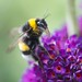 Bumblebee, on Buddleja