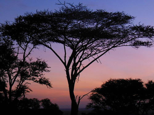 Sunset behind an Acacia tree