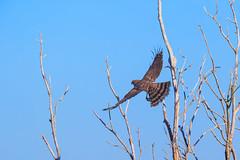 Cooper's Hawk (dngovoni) Tags: bestofblinkwinners blinksuperstars bestofsuperstars blink4gallery