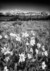 Field of Summer Wildflowers in the Tetons (dfikar) Tags: flowers summer sky white black mountains nature sunshine vertical clouds landscape outdoors unitedstates meadow objects nobody jackson rockymountains wildflowers wyoming wilderness tetons clearsky blooming grandtetonnationalpark