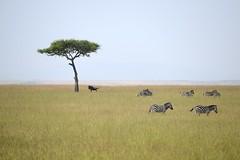 Safari at Masai Mara (Lin.y.c) Tags: africa travel animal kenya wildlife safari wildanimal masaimara 非洲 肯亞 馬賽馬拉
