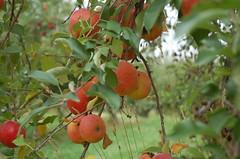 "Spitzenburg Apples on Tree <a style=""margin-left:10px; font-size:0.8em;"" href=""http://www.flickr.com/photos/91915217@N00/10303106003/"" target=""_blank"">@flickr</a>"
