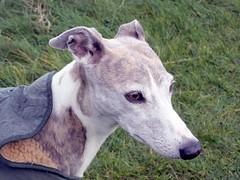 Socks (billnbenj) Tags: dog whippet cumbria brindle barrow