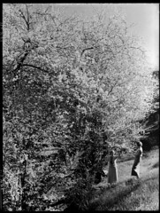 Blossoms near Montecute (State Records SA) Tags: blackandwhite photography australia historical southaustralia frankhurley srsa staterecords staterecordsofsouthaustralia staterecordsofsa