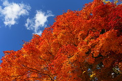 Fine (Teruhide Tomori) Tags: autumn sky japan clouds maple kyoto    kansai japon jepang   kamigamoshrine kayede