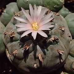 Mateixa Lophophora williamsii, estiu 2013.Same Lophophora williamsii, summer 2013. (Jesús 56) Tags: cactus plantas flor plantes flors lophophora lophophorawilliamsii williamsii barridelatrinitat