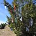 Trees_of_Loop_360_2013_196