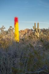 Taller than a Saguaro (bo mackison) Tags: arizona southwest art nature photography botanicalgardens phoenixarizona desertbotanicalgarden chihulyglass ussouthwest chihulyart