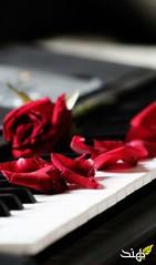 ♥ (HIND 95) Tags: piano ورود ورد احمر جوري موسيقى بيانو عزف flickrandroidapp:filter=none