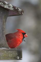 male cardinal-6678 (JGKphotos) Tags: bird birds cardinal cardinals malecardinal 60d canoneos60d