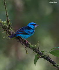 Blue-Dacnis (Corey Hayes) Tags: morning blue wild costa bird nature birds canon lowlight costarica eyecontact wildlife flash tripod ngc birding rica jungle perch centralamerica highiso tanager coreyhayes 1dmkiv
