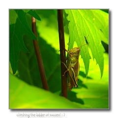climbing the ladder of success (MyGallery) Tags: summer grasshopper sonydscr1digitalcamera