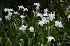 Iris (ddsnet) Tags: iris plant flower sony taiwan cybershot   taoyuan aquaticplants      rx10  851