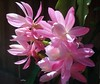 A lovely pink Cactus in my garden (pat.bluey) Tags: flowers cactus australia newsouthwales blacktown 1001nights mygarden 1001nightsmagiccity hennysgardens