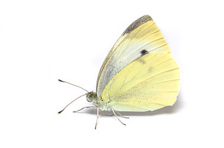 Cabbage White - ♀