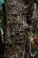 Roots climbing up an old tree (Jon Bagge) Tags: tree forest branch vine oldtree root canonefs1755mmf28isusm canoneos60d ringexcellence jonbagge