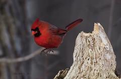 CARDINAL SINS a (AIR BUS) Tags: red nature birds cardinal wildlife avian northerncardinal