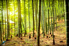 Shades of Green (Chiara Salvadori) Tags: trip travel light green nature japan photography kyoto asia peace buddha documentary buddhism bamboo east exotic arashiyama journey tradition orient giappone risingsun shintoism sollevante bamboogroove mygearandme