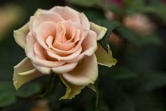 Light Pink Rose 032214 IMG_0257 (Orkakorak) Tags: pink rose favescontestwinner herowinner ultraherowinner