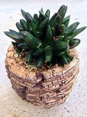 Gasteria nigricans monstrose (Reggie1) Tags: succulent may gasteria 2014 monstrose gasterianigricansmonstrose
