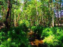 der Springbach bei Bad Belzig (Sophia-Fatima) Tags: forest deutschland bach brook wald brandenburg springbach badbelzig