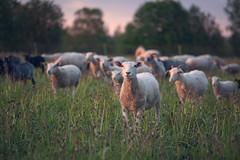 Baah baah! (Bunaro) Tags: sunset nature zeiss suomi finland dawn central carl lamb lambs ram herd bah 13528 lammas baah hankasalmi keski