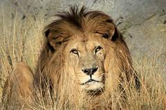 Néro, lion d'Afrique (olivier.ghettem) Tags: paris france animal lion extérieur carnivore mammifère fauve zoodevincennes parczoologiquedeparis zoodeparis