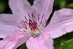 Clematis rosa (silkebahr) Tags: natur hibiscus tulpen blten
