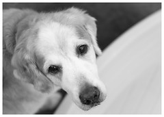 Nick (Eline Lyng) Tags: golden retriever leica dogs norway portrait nick outdoor animalportrait goldenretriever monochrom blackandwhite bw s leicas summarits70mm 70mm mediumformat dof bokeh