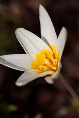 oneplant, ouryard, tulipa the first, jdy092 XX201504022760.jpg (rachelgreenbelt) Tags: baseyellow tulipathefirst exteriorstripedpinkandwhite interiorpetalswhite