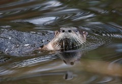 River Otter (Mary Sonis) Tags: