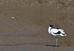Avocet 3 26  Mar 17 (Tim Harris1) Tags: nikond7100 nikkor80400afs norfolk avocet bird thornham