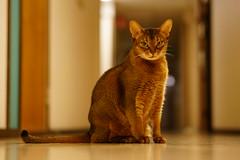 I am Lizzie! (DizzieMizzieLizzie) Tags: abyssinian aby beautiful wonderful lizzie dizziemizzielizzie portrait cat chats feline gato gatto katt katze katzen kot meow mirrorless pisica sony a6500
