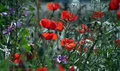 Champêtrées (Dominique Dumont Willette) Tags: coquelicots fleurssauvages champêtre plantes