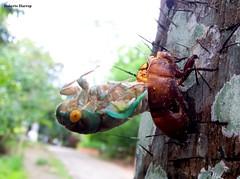Cigarra - Cicada (Roberto Harrop) Tags: cigarra cicada inseto aldeia robertoharrop