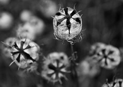 Enter at your own risk! (pardalite) Tags: blackandwhite seedpods seed dried