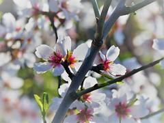Splendeur du printemps (blogspfastatt (+4.000.000 views)) Tags: spring primavera frühling 春 весна wiosna bahar lente musimsemi ربيع blogspfastatt pfastatt printemps saison season