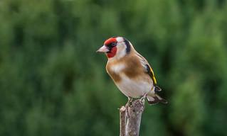 dsc_4541 Goldfinch