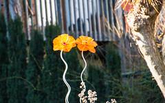Flowers (Maria Eklind) Tags: dof sweden floower malmö blomma depthoffield skånelän sverige se