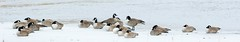 Bernache Du Canada / Canada Goose (ALLAN .JR) Tags: bernache goose bird oiseau nature wildlife winter hiver lasalleqc nikon geese