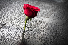 Ground zero (Lucille-bs) Tags: amérique etatsunis usa etatdenewyork newyork groundzero hommage rose fleur goutte roserouge rouge pluie