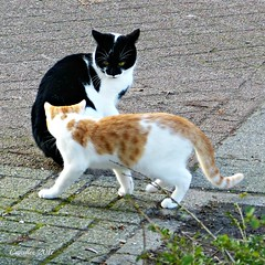 A rather friendly encounter, not my cats (2 other pictures in the first comment). (Cajaflez) Tags: cats katten chats gatti katzen huisdier pet ontmoeting encounter zwartwit blackandwhite kitten
