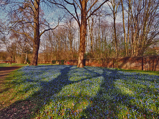 Light and Shadow-Scilla bloom in Springtime