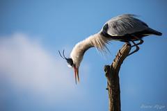 """""""What ?!"""" (regisfiacre) Tags: ardea cinerea héron cendré oiseau bird aves vogel photo nature natura wild sauvage wildlife ciel bleu blue sky gris canon 5div mark iv 4 100400mm"""
