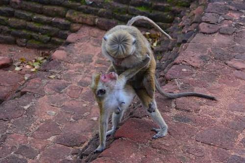 ceyloni makako Macaca sinica134