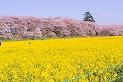 _DSC4447 (sayo-tsu) Tags: sakura saitama cherryblossom gongendopark sattecity 桜 菜の花 お花見 権現堂 埼玉県