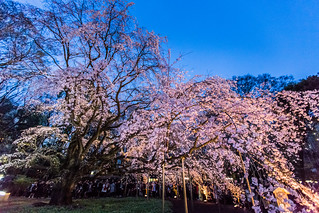 Sakura at Night 六義園の夜桜