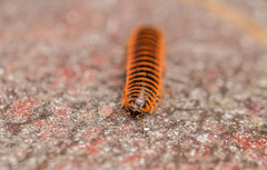 Miss Millie Approached (Gabriel FW Koch) Tags: insect crawler millipede centipede closeup macro wow awesome bokeh outdoor outside canon 100mm garden